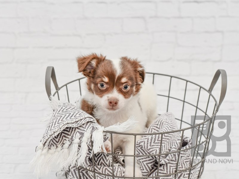 Chihuahua-Male-White & Chocolate-2933258-Petland Novi