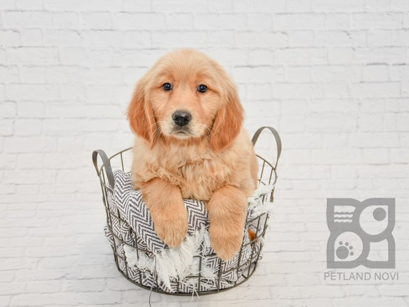 Golden Retriever-Female-Golden-2955031-Petland Novi