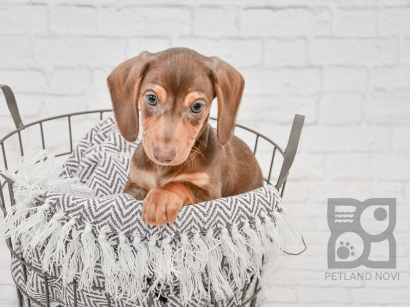 Dachshund-Male-Chocolate & Tan-2956426-Petland Novi