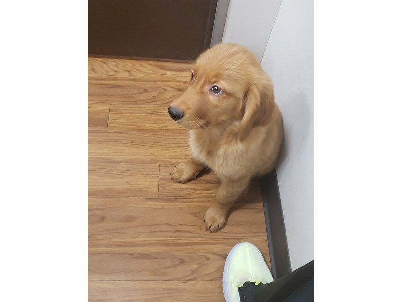 Golden Retriever-Male-Golden-2941136-Petland Novi
