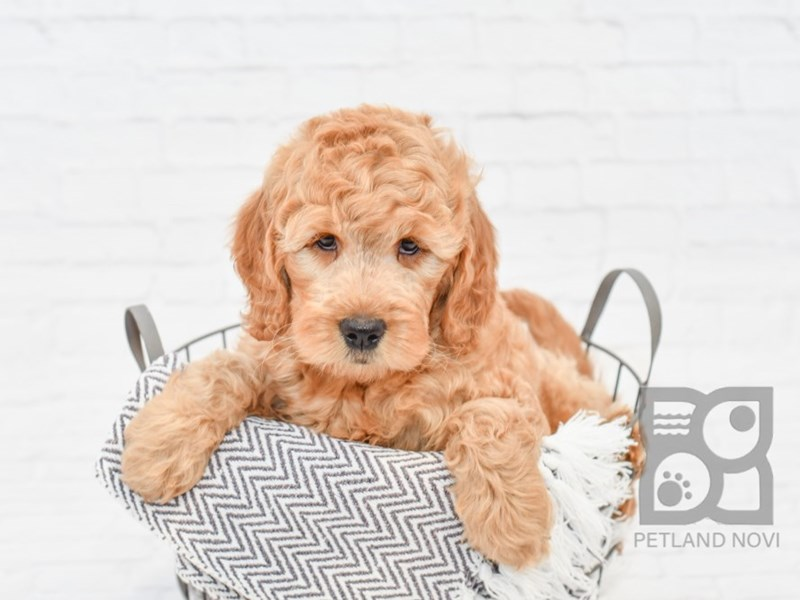 Goldendoodle-Female-Red-2996781-Petland Novi