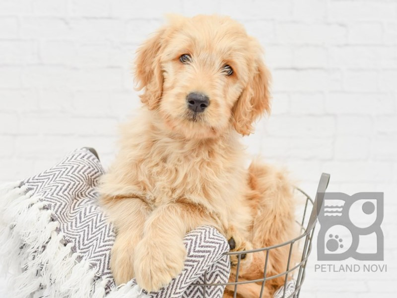Goldendoodle-Female-golden-3034824-Petland Novi