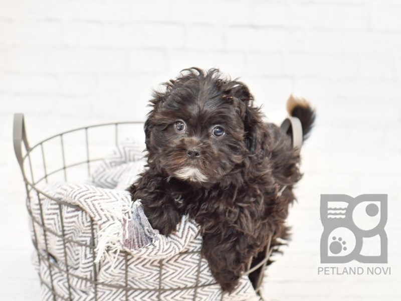 Shih Poo-Female-Black-3055315-Petland Novi