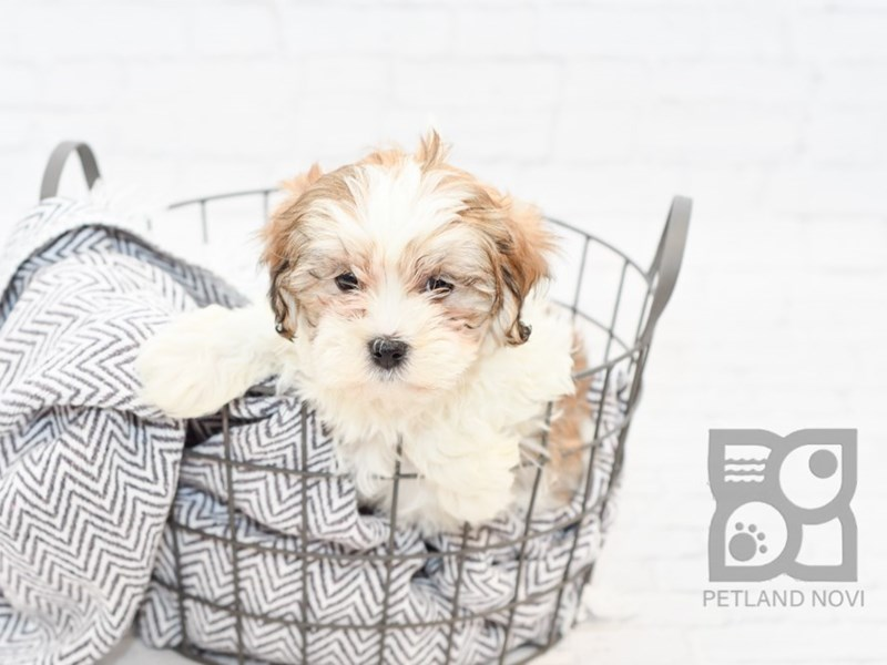 Shih Poo-Female-Gold & White-3068576-Petland Novi