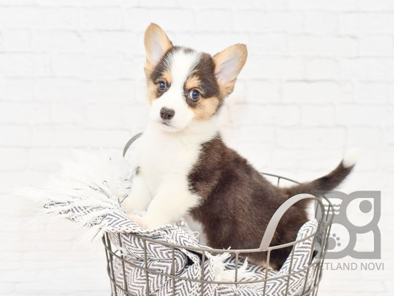 Pembroke Welsh Corgi-Male-Black Tan / White-3077520-Petland Novi