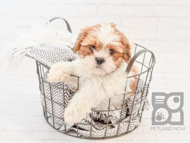 Shih Tzu-Male-BROWN WH-3076827-Petland Novi