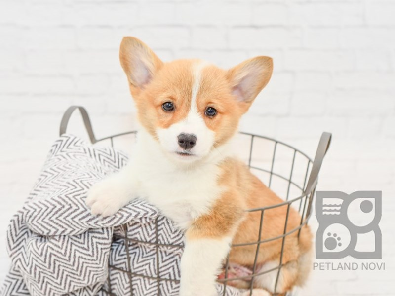 Pembroke Welsh Corgi-Male-Sable-3068558-Petland Novi